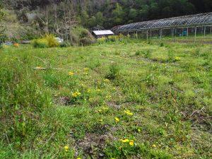 narumi farm 2016 タンポポ畑でした。