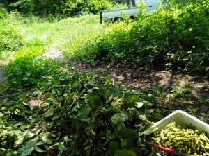 枝豆収穫畑