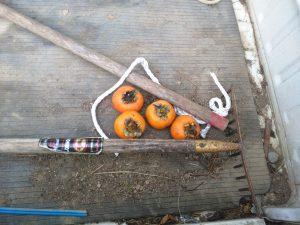 朝トラックの荷台をみると、柿の贈り物が。お餅とか、人参とか、たまに置いてある。お猿かな?本当にありがたいです。