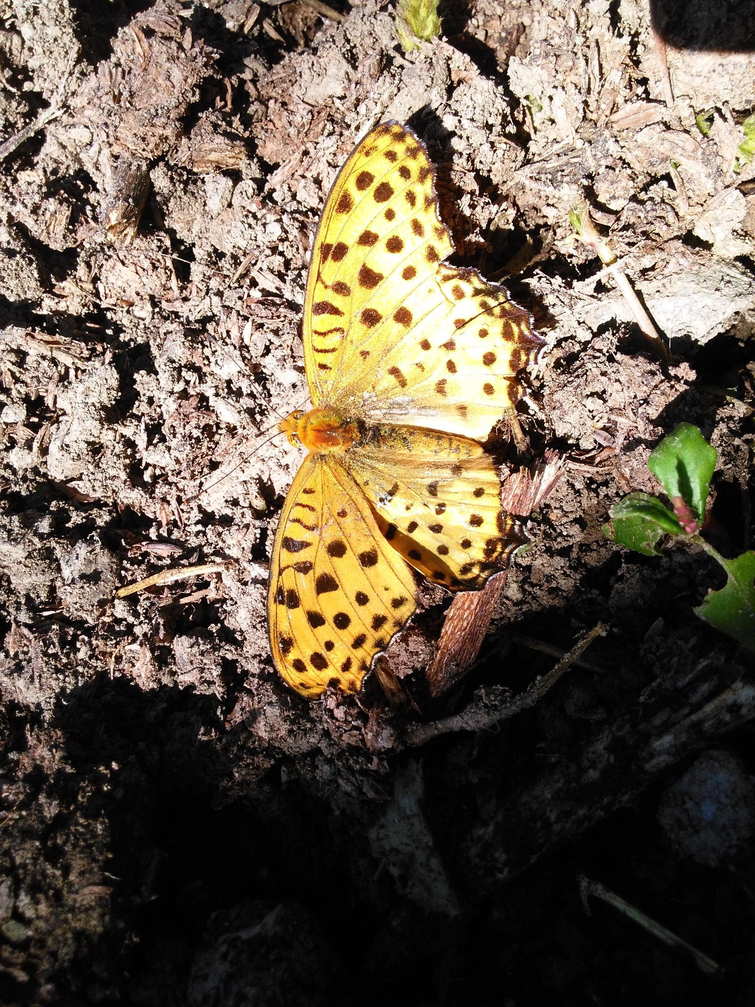 土から離れない蝶