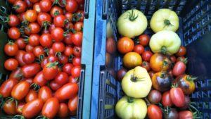 2020年 3年目同じ畝トマト栽培 大玉トマト (アップし忘れ1)